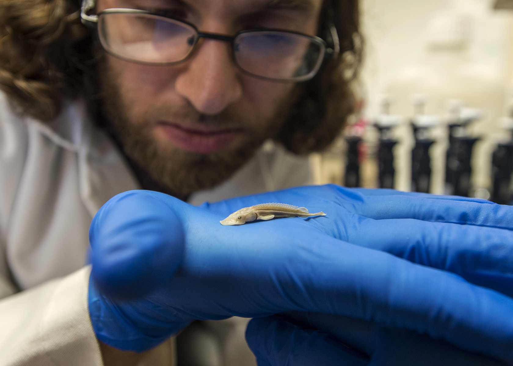 Kevin Kingsland, a doctoral student in zoology, examines a tiny shovelnose sturgeon