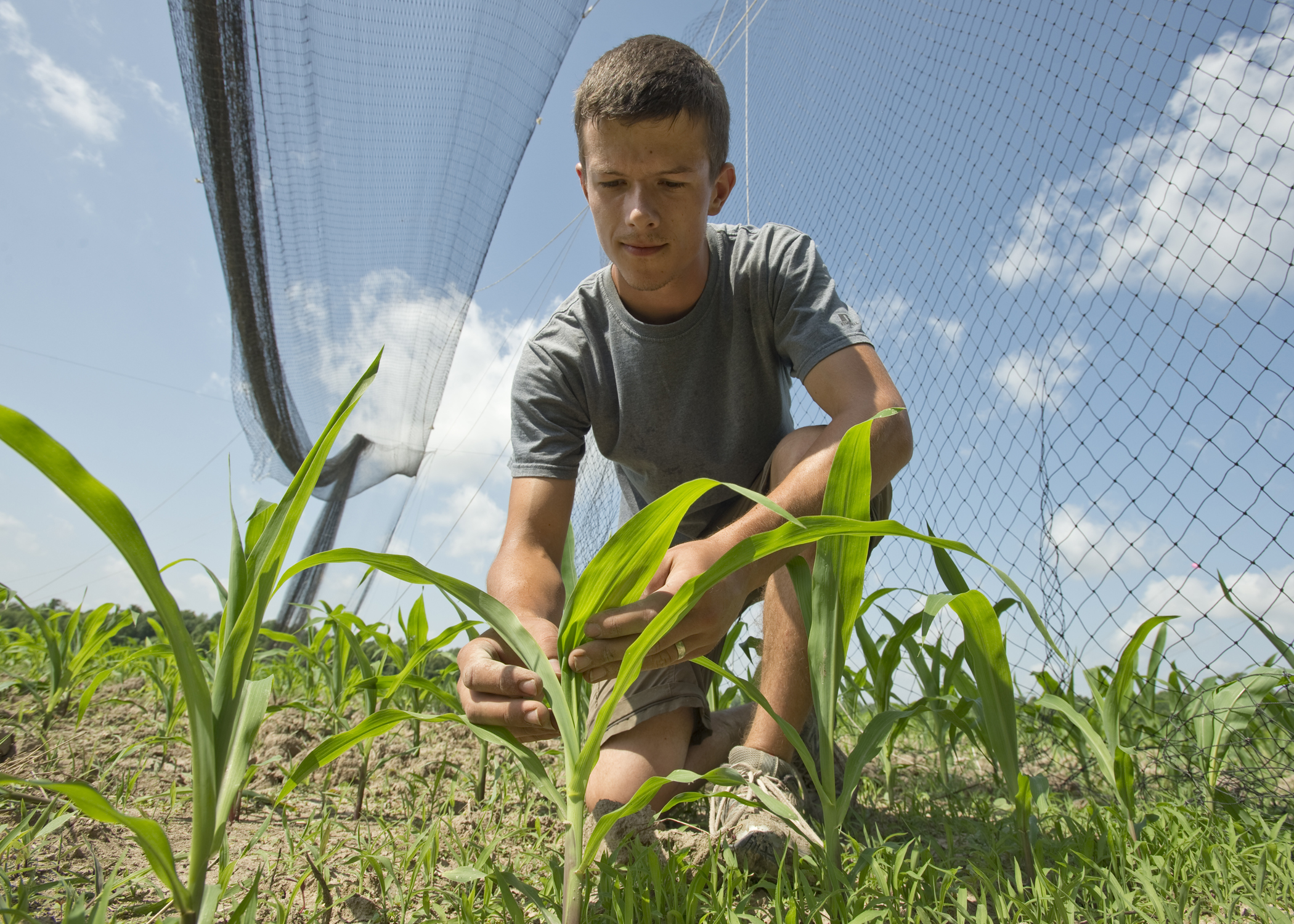 Josiah Maine, a former graduate student, examines a young corn plant.
